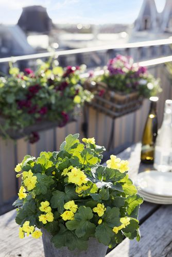 Geranium, pelargonium, roof terrace, window pot, yellow